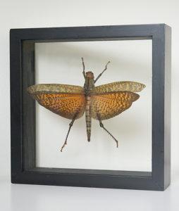Opgezette sprinkhaan in lijst Tropidacris dux