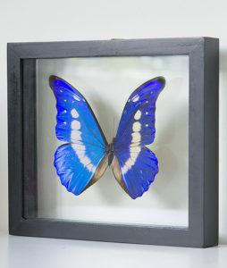 opgezette vlinder in lijst morpho helena