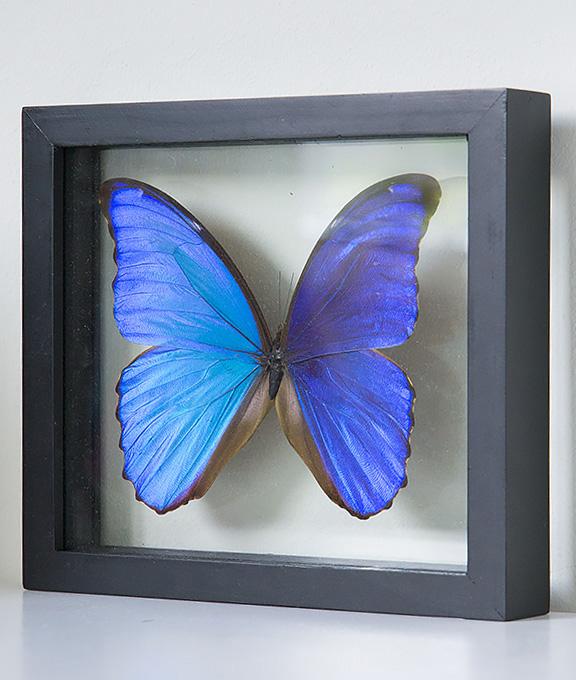 opgezette vlinder in lijst morpho didius groot