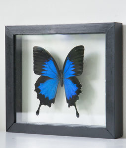 opgezette vlinder in lijst papilio ulysses