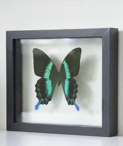 opgezette vlinder in lijst papilio blumei groot