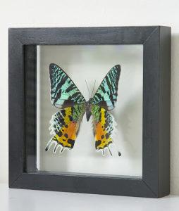 opgezette vlinder in lijst urania ripheus