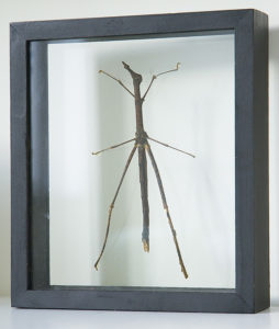 opgezette wandelende tak in lijst tirachoidea biceps