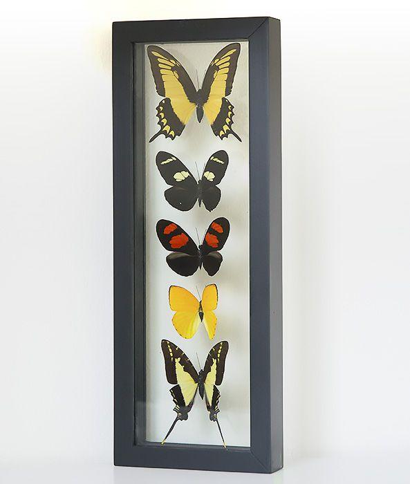 vijf opgezette vlinders in lijst