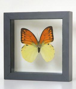 Opgezette vlinder in lijst Hebomoia Leucippe