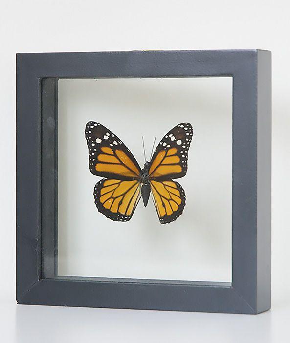 Opgezette vlinder in lijst Danaus Plexippus