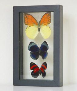 drie opgezette vlinders in lijst