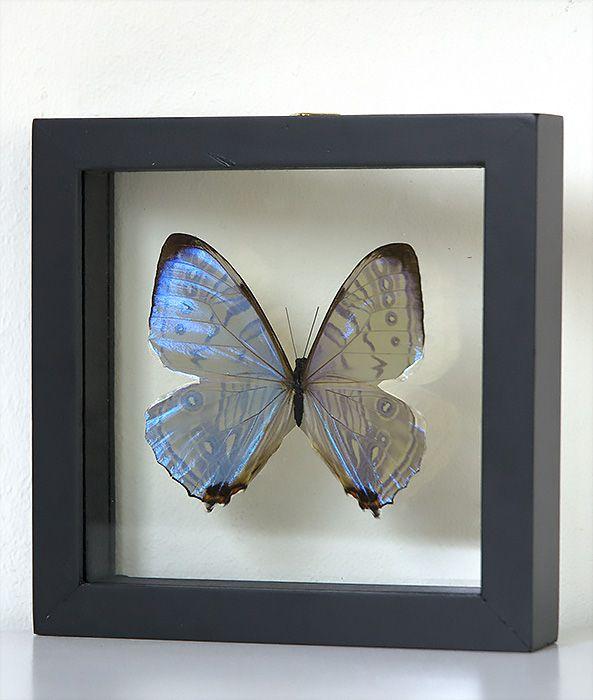 Opgezette vlinder in lijst Morpho Sulkowsky