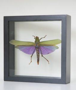 insect in lijst Titanacris Albipes