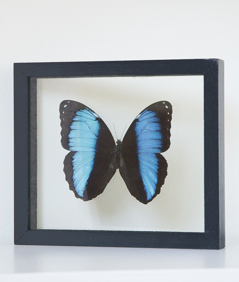 opgezette vlinder in lijst