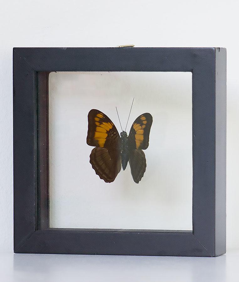 Opgezette vlinder in lijst Marpesia