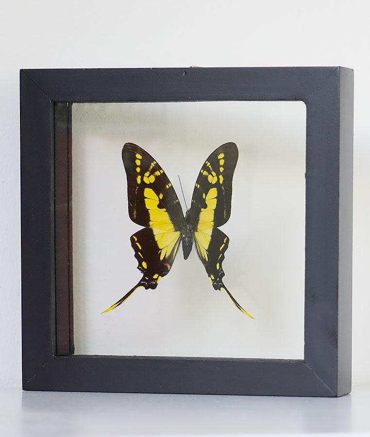 Opgezette vlinder in lijst Protographium Thyastes