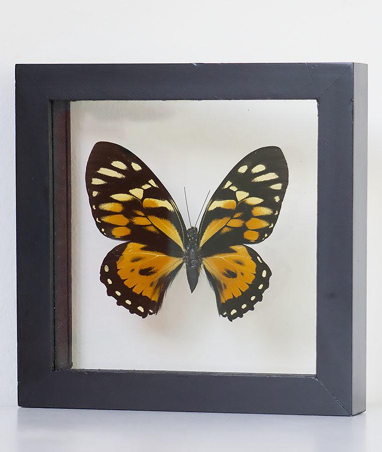 Opgezette vlinder in lijst Papilio Zagreus