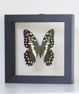 opgezette-vlinder-in-lijst-papilio-demoleus-2