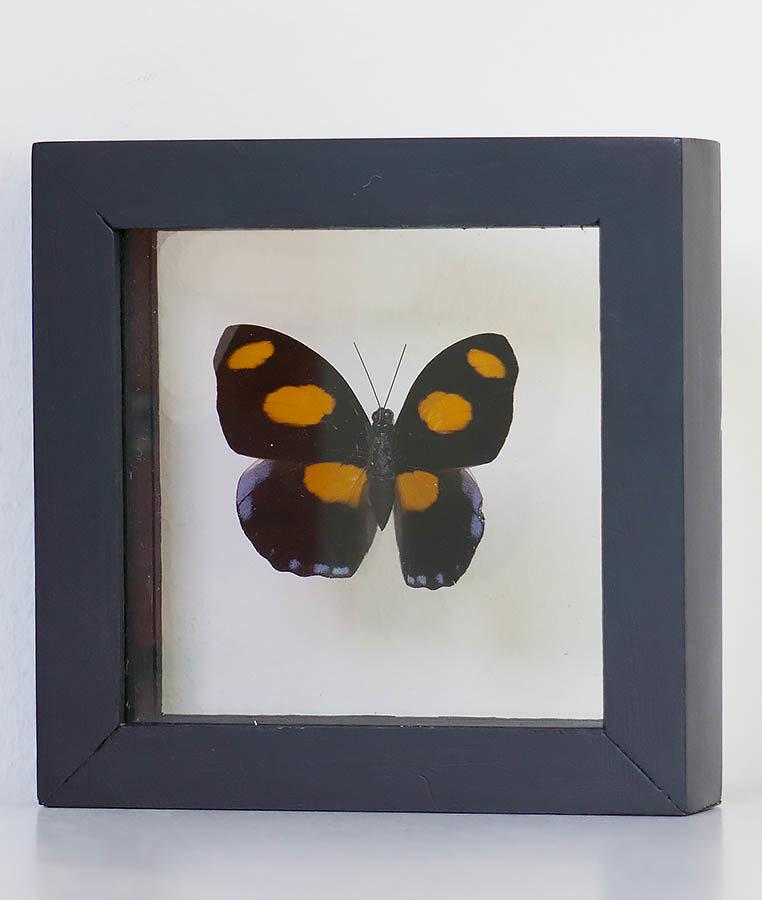 Opgezette vlinder in lijst Catonephele Numilia