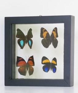vier-opgezette-vlinders-in-lijst-2