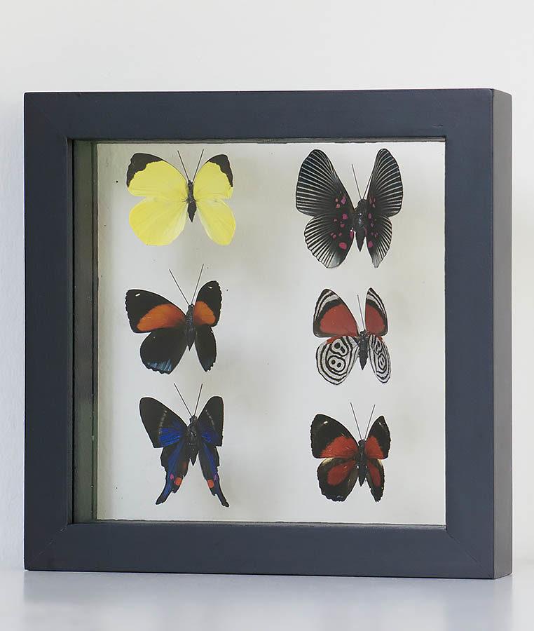 Zes opgezette vlinders in lijst
