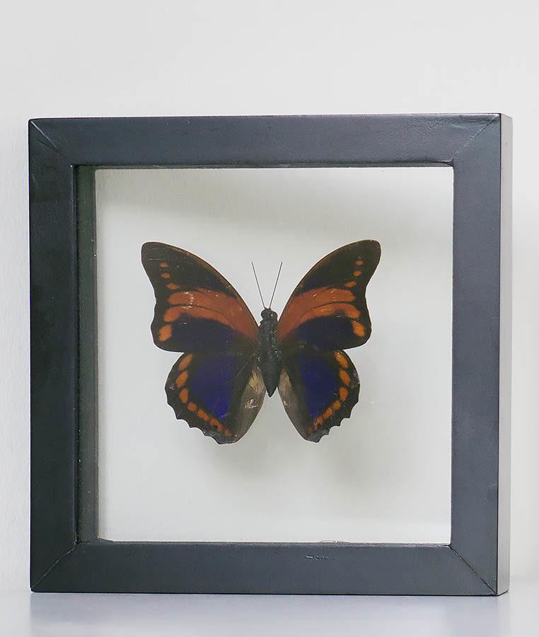 Opgezette vlinder in lijst Agrias Claudina Lugens