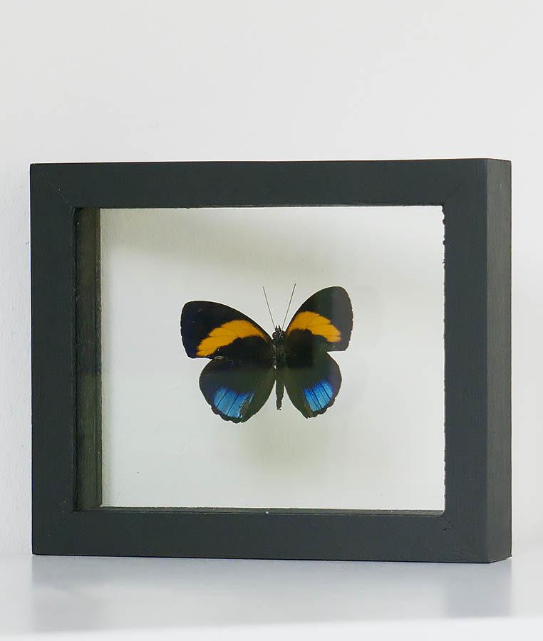 Opgezette vlinder in lijst Callithea Davisi