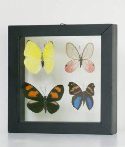 vier opgezette vlinders in lijst