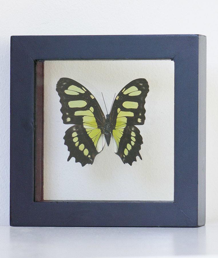 Opgezette vlinder in lijst Victorina Stelenes