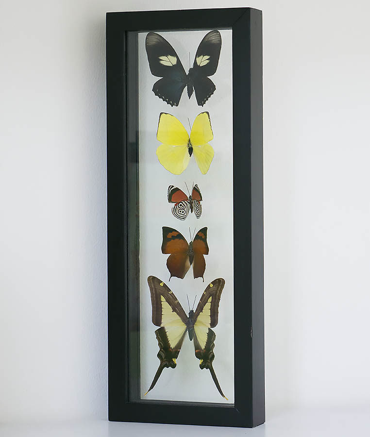 vijf vlinders in lijst in dubbel glas