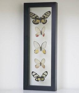 Vijf opgezette vlinders in lijst met dubbel glas