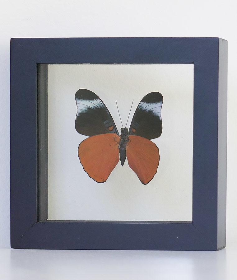 Opgezette vlinder in lijst Panacea Prola