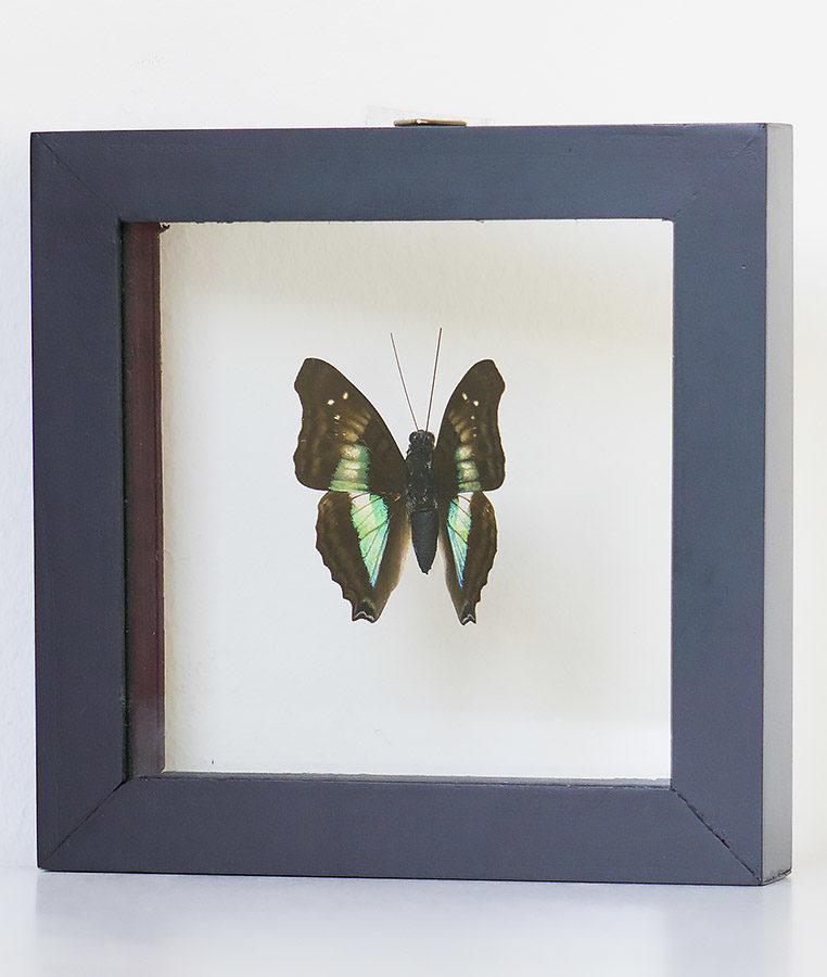 Opgezette vlinder in lijst Doxocopa Cherubina