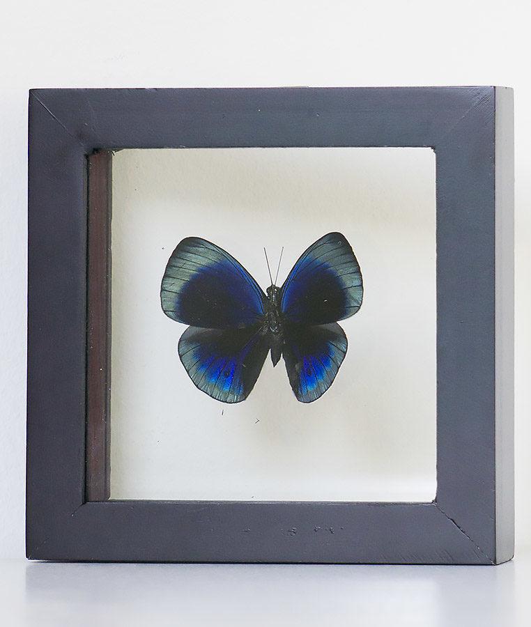 Opgezette vlinder in lijst Asterope Leprieuri