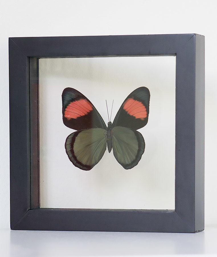 Opgezette vlinder in lijst Batesia Hypochlora