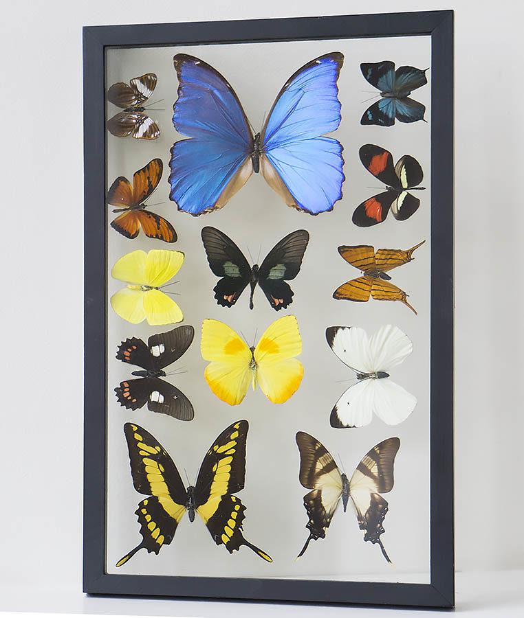 Dertien opgezette vlinders in lijst